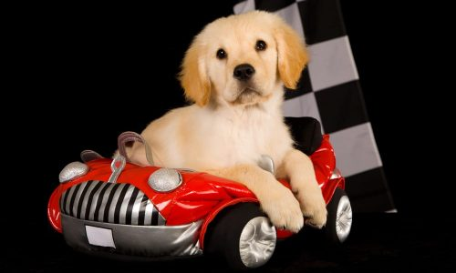 Cute puppy in car