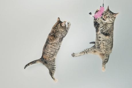 Cats jumping in the air and playing