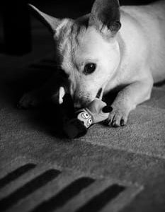 Dog with toy and snarling