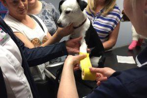 Practising bndaging a dog's paw