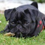 Pug dog looking cute