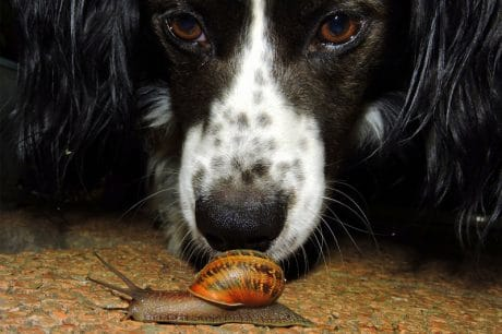 Dog investigating a snail