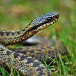 The European Adder