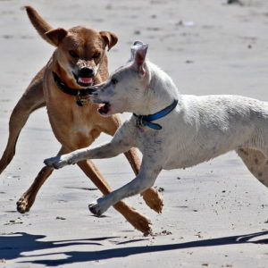 Two dogs on the beach snarling at each other