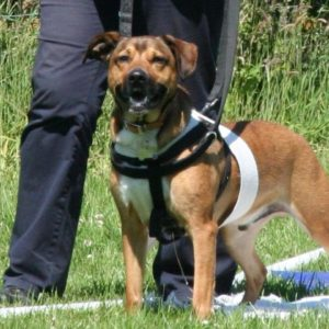 Dog wearing a ttouch harness and body wrap