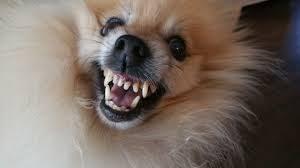 Dog baring teeth as a warning