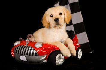 Cute puppy in car