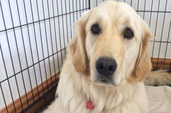 crate-training-dog-model-pu