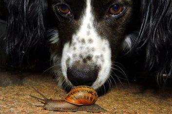 Dog investigating a snail