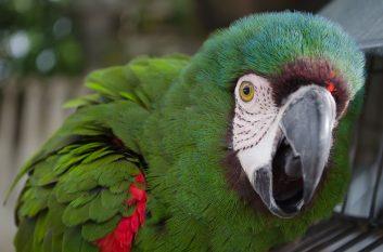 parrot ruffled pixabay free