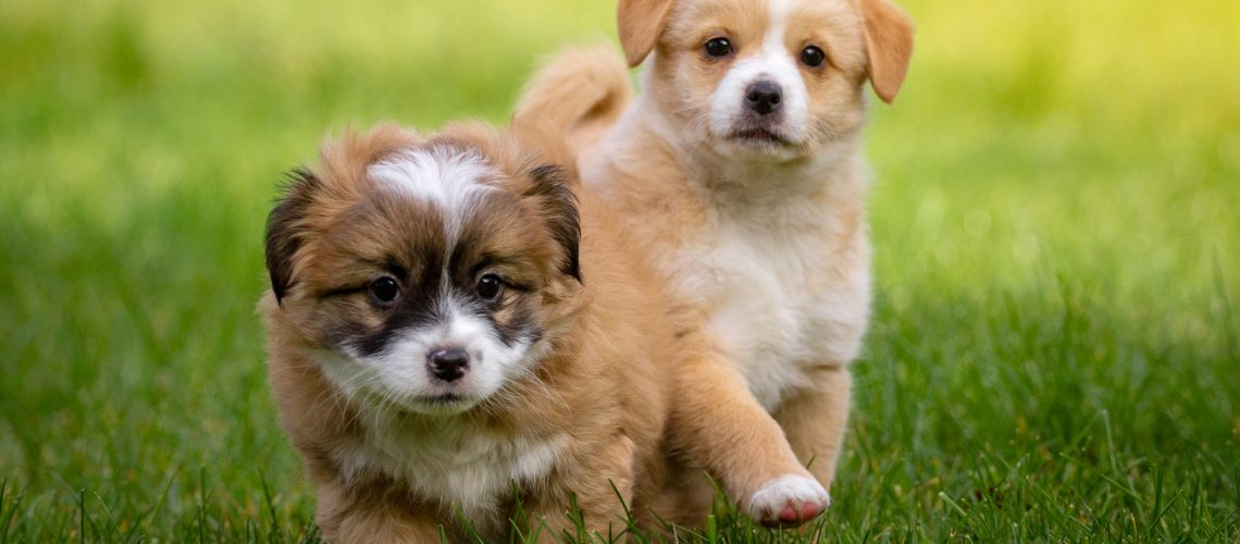 Puppies playing together as part of their socialisation